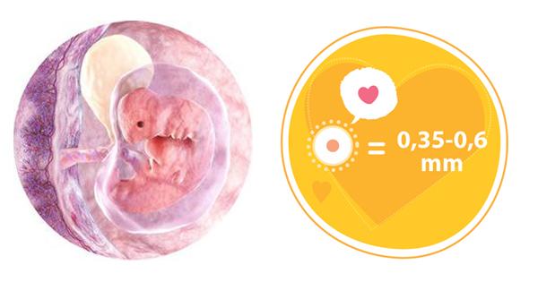Giai đoạn phát triển của thai nhi qua 4 tuần tuổi