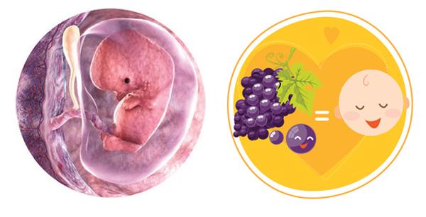 Giai đoạn phát triển của thai nhi qua 8 tuần tuổi