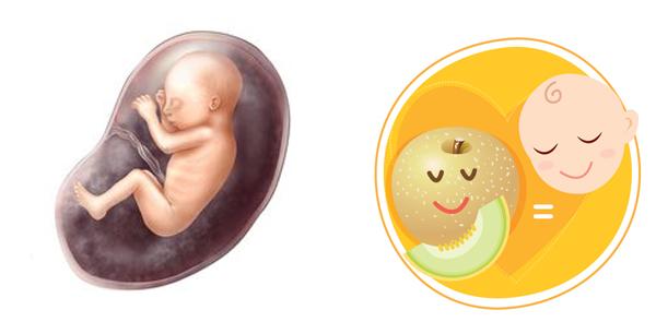 Giai đoạn phát triển của thai nhi qua 24 tuần tuổi
