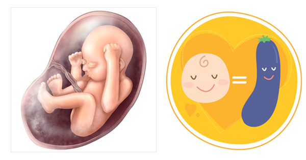 Giai đoạn phát triển của thai nhi qua 28 tuần tuổi