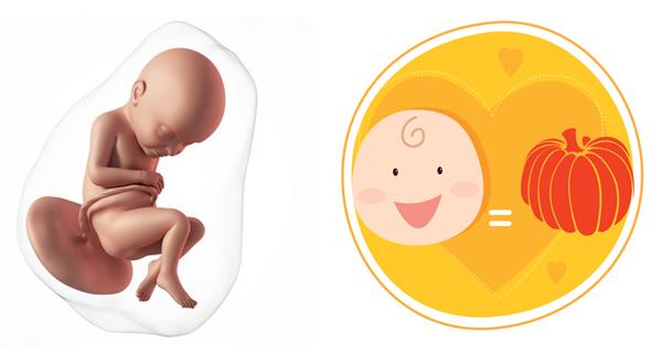 sự phát triển của thai nhi tuần thứ 40