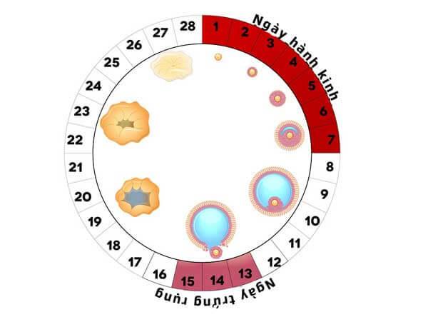 Cần xác định đúng thời điểm rụng trứng để có xác suất mang thai bé trai cao nhất