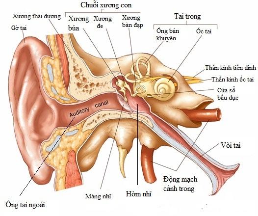 Viêm tai giữa khiến dịch mủ đọng ở tai gây ù tai, bệnh viêm tai giữa ở trẻ
