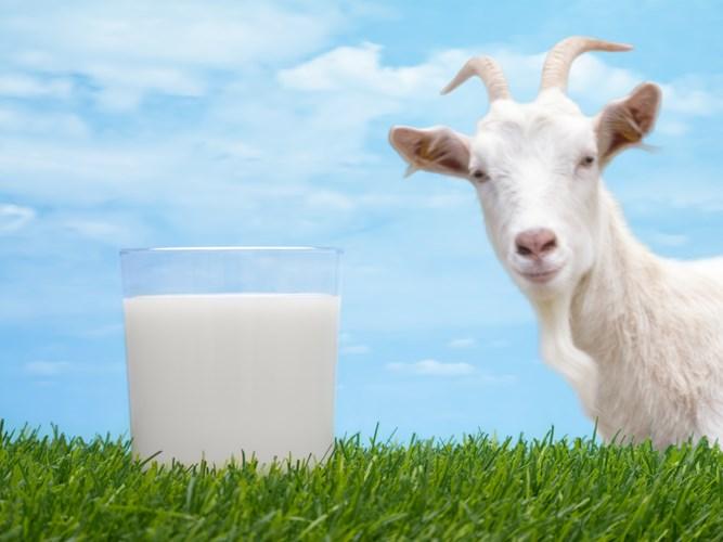 Sữa dê có hàm lượng chất đạm nhiều hơn sữa bò